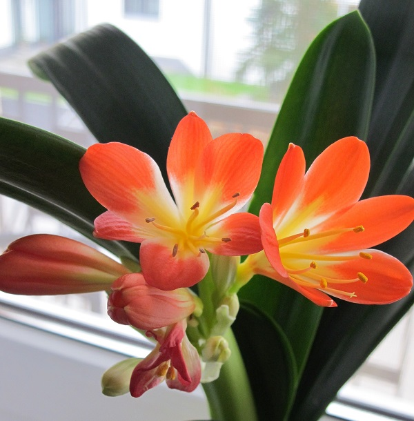 Svogūninės kambarinės gėlės