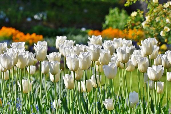 Daugiamečių gėlių auginimas